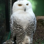 Snowy Owl Diet , 6 Snowy Owl Facts In Birds Category