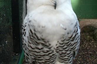 Snowy Owl Diet , 6 Snowy Owl Facts In Birds Category
