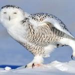 Snowy Owl Facts For Kids , 4 Snowy Owl Facts For Kids In Birds Category
