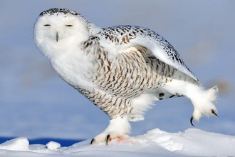 Snowy Owl Facts For Kids in Skeleton