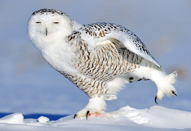 Birds , 4 Snowy Owl Facts For Kids : Snowy Owl Facts For Kids