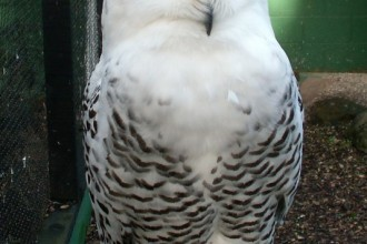 Snowy Owl Facts Picture in Dog