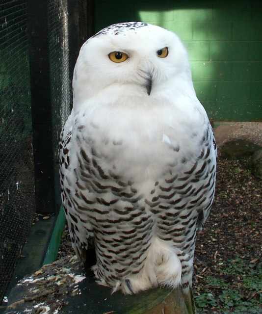 Birds , 4 Snowy Owl Facts For Kids : Snowy Owl Facts Picture