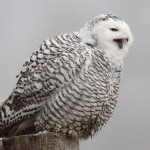 Snowy Owl sing in fog , 6 Snowy Owl Facts In Birds Category