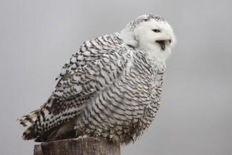 Snowy Owl Sing In Fog , 6 Snowy Owl Facts In Birds Category