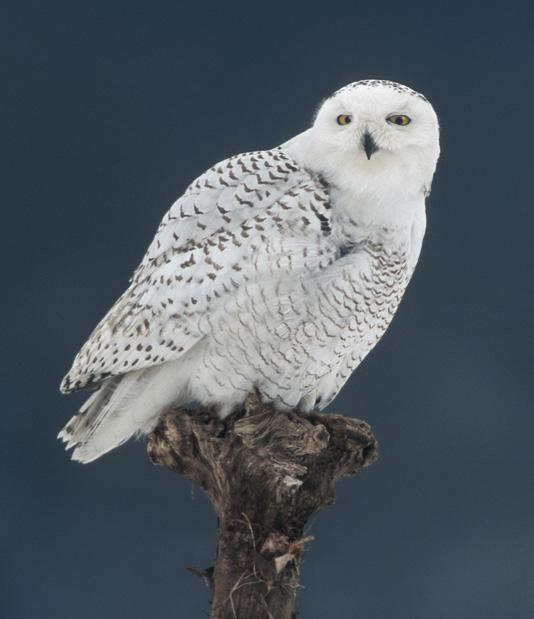 Birds , 6 Snowy Owl Facts : Snowy Owl