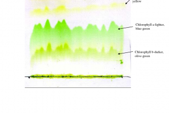 Spinach Leaf Pigments , 6 Leaf Chromatography Pictures In Laboratory Category