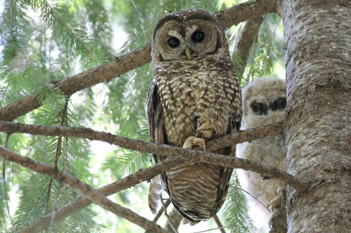 Birds , 6 Owl Facts For Kids : Spotted Owl Facts For Kids