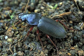 Strawberry Seed Beetle Images , 7 Strawberry Seed Beetle Photos In Beetles Category