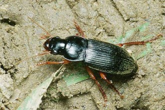 Strawberry Seed Beetle Images Photo , 7 Strawberry Seed Beetle Photos In Beetles Category