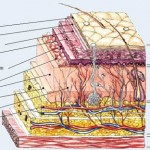 Structure and Function of the Skin , 6 Diagrams Of Structure And Function Of The Skin In Organ Category