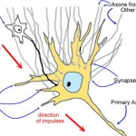 Synapses neurons systems , 6 Images Of Brains Synapse Neurons Structures In Brain Category