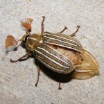 Ten Lined June Bug , 6 June Bug Beetles In Bug Category