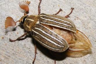 Ten Lined June Bug , 6 June Bug Beetles In Bug Category