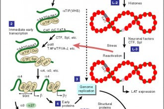 The HSV Replicative Cycle , 5 Animation On Dna Replication In Cell Category
