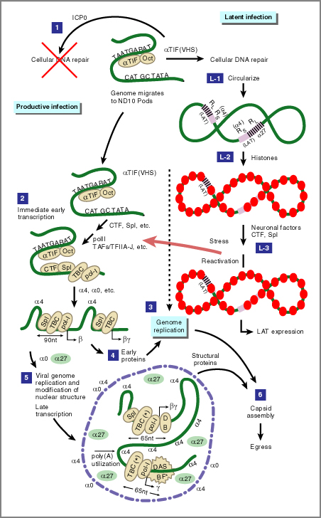 Cell , 5 Animation On Dna Replication : The HSV Replicative Cycle