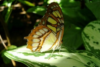 The Malachite Butterfly , 7 Malachite Butterfly Facts In Butterfly Category