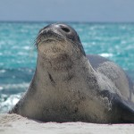 The Monk Seal Population , 5 Hawaiian Monk Seal Facts In Mammalia Category