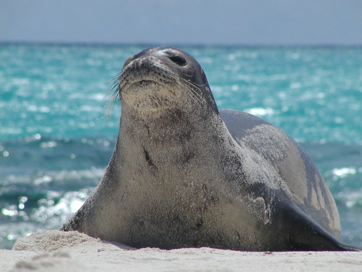Mammalia , 5 Hawaiian Monk Seal Facts : The Monk Seal Population