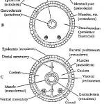 The Nematode Body Plan , 8 Images Of Three Types Of Invertebrates Body Cavities In Invertebrates Category