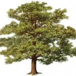 The Oak Tree , 6 Oak Tree Photos In Plants Category