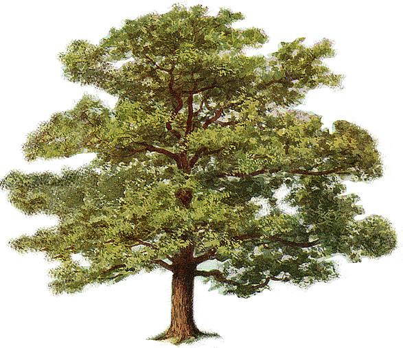 Plants , 6 Oak Tree Photos :  The Oak Tree