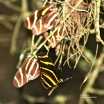 The Zebra Longwing , 6 Zebra Longwing Butterfly Predators In Butterfly Category