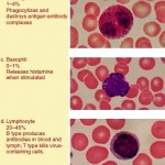 The five types of white blood cells , 5 Types Of White Blood Cells Pictures In Cell Category