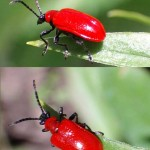 The smallred beetle , 5 Red Beetle Bug Pictures In Bug Category