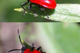 The smallred beetle in Spider