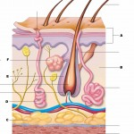 The structure labeled in question , 4 Structure Of Skin Quiz In Organ Category