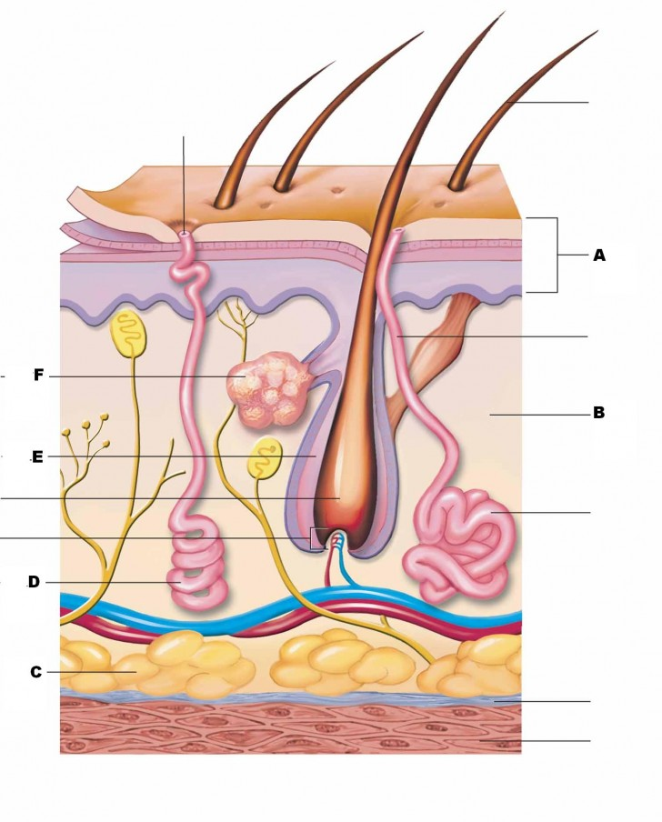 Organ , 4 Structure Of Skin Quiz : The Structure Labeled In Question