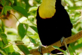 Toucan , 6 Facts About Toucans In Birds Category