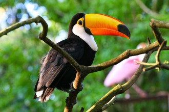 Toucan Facts , 6 Facts About Toucans In Birds Category