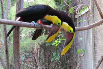 Toucan Photo , 6 Toucan Facts For Kids In Birds Category