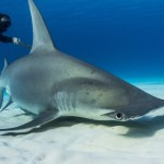 Tracking hammerheads , 6 Facts About Hammerhead Sharks In pisces Category