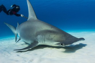 Tracking hammerheads in Dog