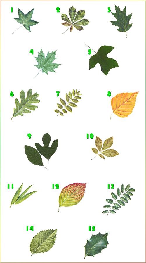 Plants , 4 Oak Tree Leaf Identification Key : Tree Identification
