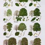 Tree Leaf Names , 7 Leaf Tree Id Key Review In Plants Category