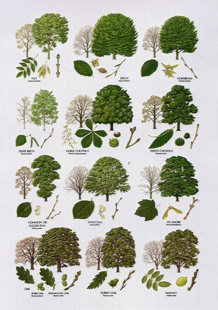 Plants , 3 British Tree Leaf Identification Keys : Tree Leaf Names