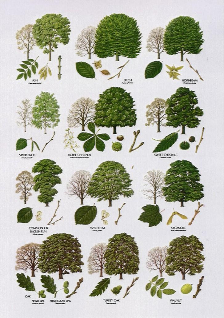 Plants , 3 British Tree Leaf Identification Keys : Tree Leaf Names