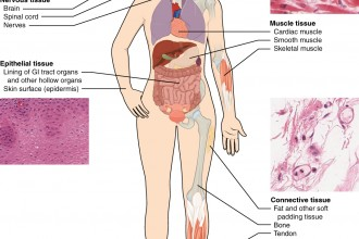 Types Of Tissue , 5 Main Tissue Types Found In The Human Body In Cell Category