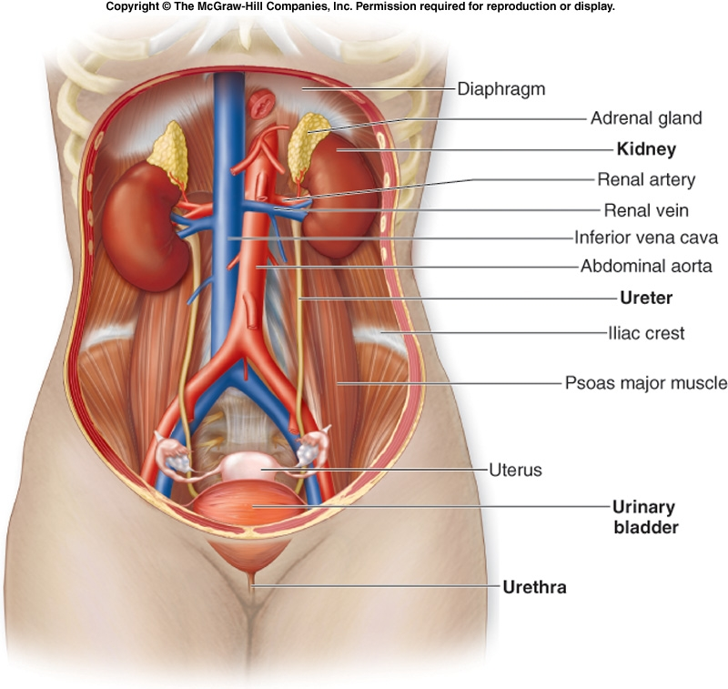 Urinary System Functions