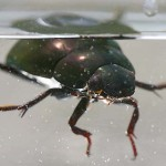 Water Scavenger Beetle , 6 Water Bug Beetle In Bug Category