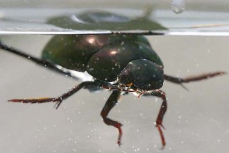Water Scavenger Beetle in Environment