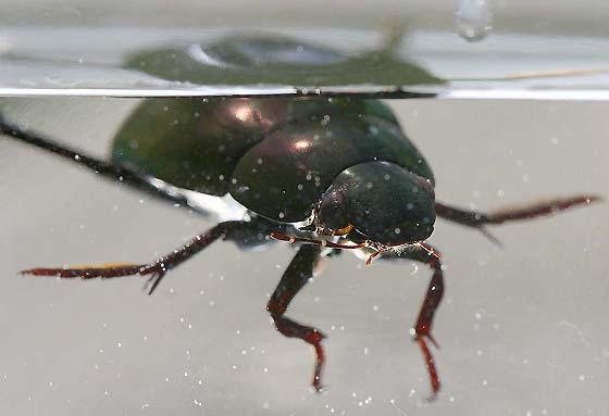 Bug , 6 Water Bug Beetle : Water Scavenger Beetle