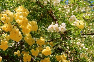 Wild Banksian Yellow Roses , 8 Pruning Wild Roses In Plants Category