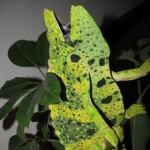 Wildlife Meller's Chameleon , 6 Mellers Chameleon Photos In Reptiles Category