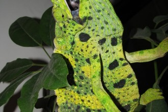 Wildlife Meller's Chameleon , 6 Mellers Chameleon Photos In Reptiles Category