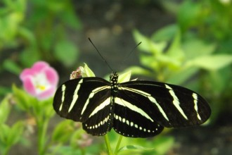 Zebra Longwing Butterfly Facts in Skeleton